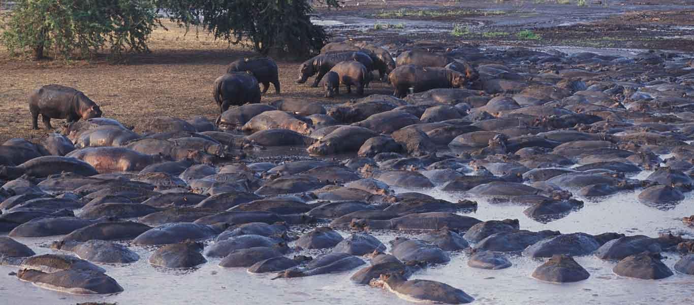 Southern Tanzania safari image of Hippo pod
