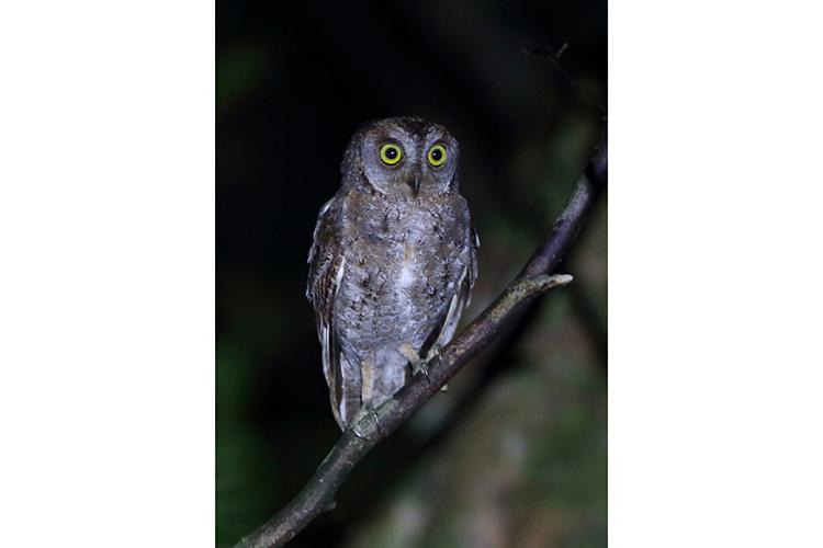 Ryukyu Scops Owl spotted in Amami Japan on 9000 bird quest
