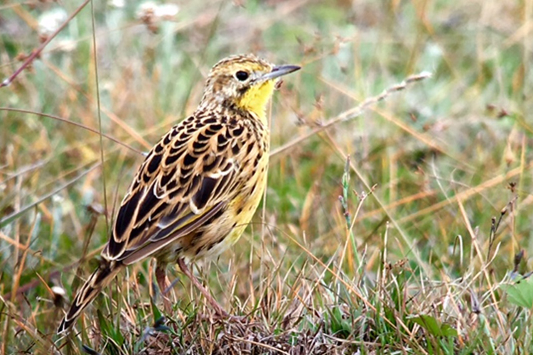 Sharpes Longclaw bird spotted in Kenya on 9000 bird quest