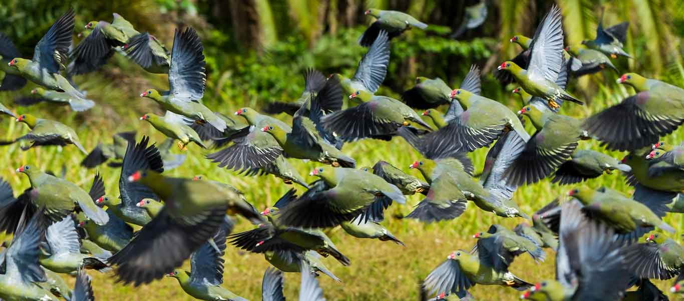 Congo gorilla tours photo of Africa Green Pigeons