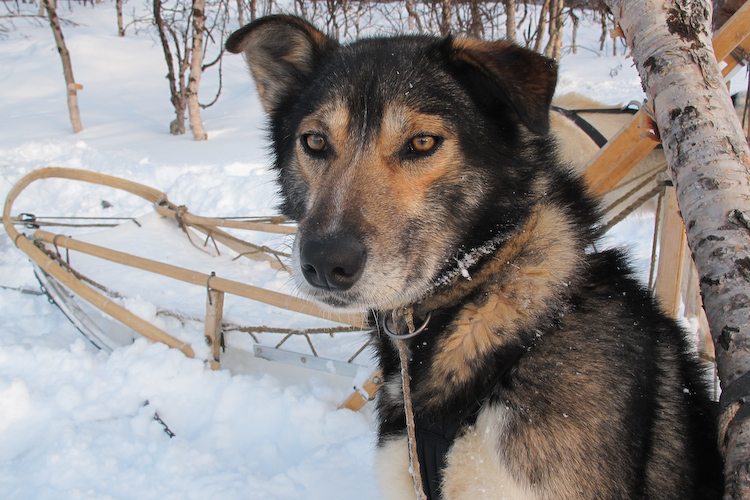 Sled dog for dog mushing on Norway adventure tour