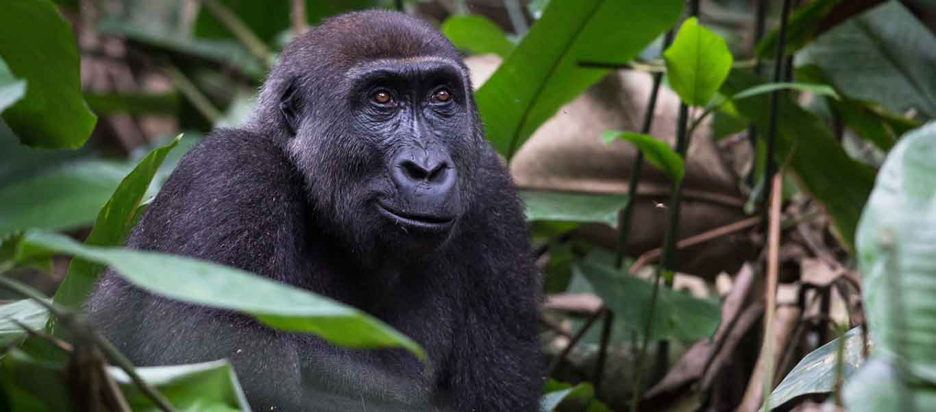 Congo gorilla trekking image of Western Lowland Gorilla