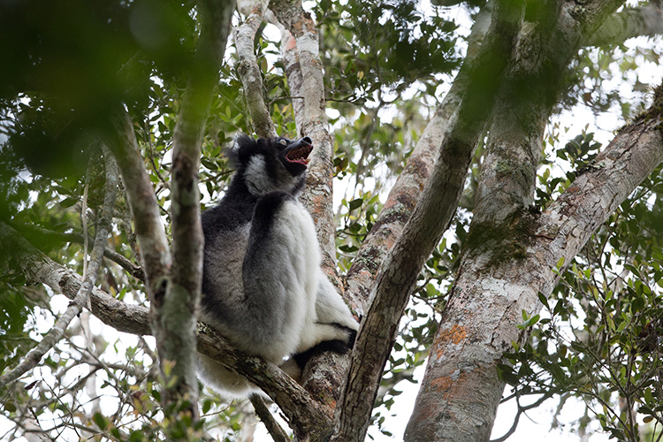 Indri wailing in tree in Madagascar