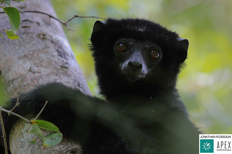 Perrier's Sifaka in Madagascar
