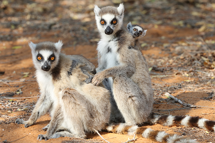 Ring-tailed Lemur family in Madagascar