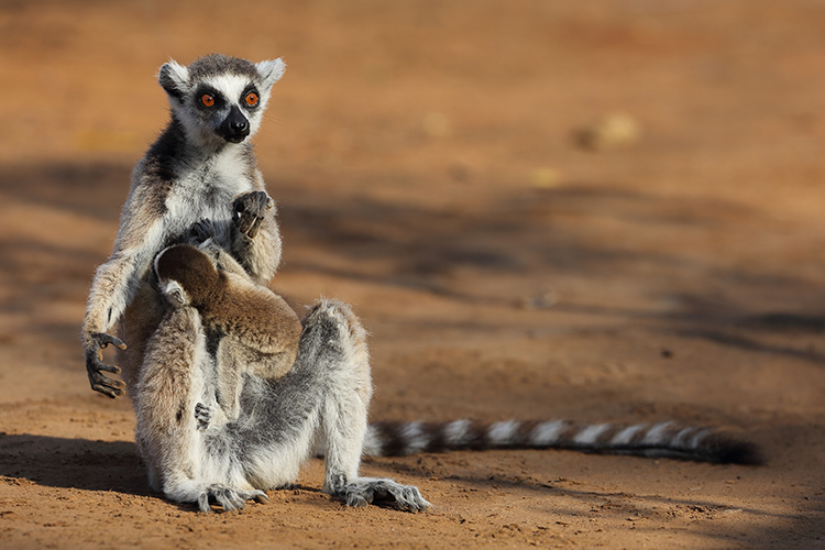 Ring-tailed Lemur nursing baby in Madagascar