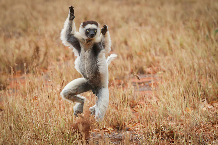 Dancing Verreaux's Sifaka in Madagascar