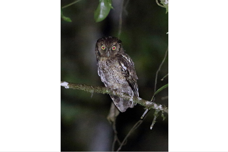 Black-capped Screech Owl at Volta Velha Brazil seen on 9000 bird quest