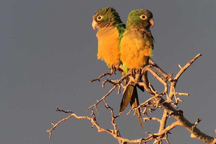 Caatinga Parakeets in Brazil seen on 9000 bird quest