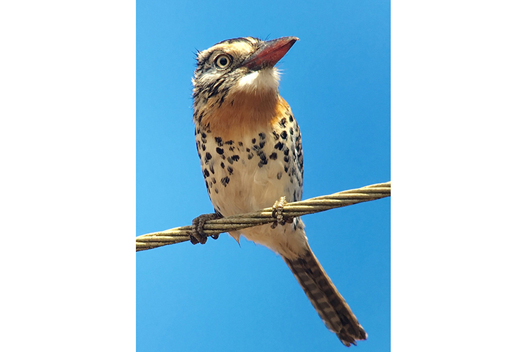 Caatinga Puffbird near Canudos Brazil seen on 9000 bird quest