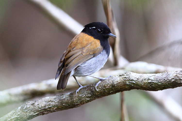 Hooded Gnateater Serra do Meruoca Brazil seen on 9000 bird quest