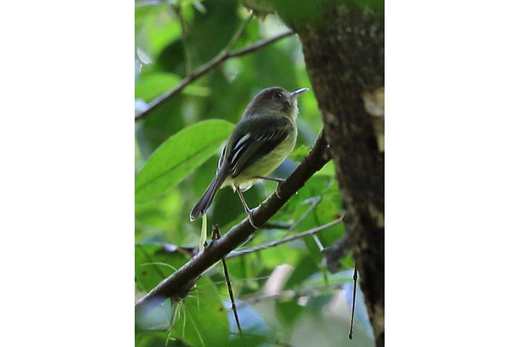 Kaempfers Tody Tyrant Volta Velha Brazil seen on 9000 bird quest