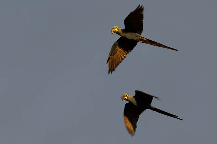 Lears Macaws Canudos Brazil seen on 9000 bird quest
