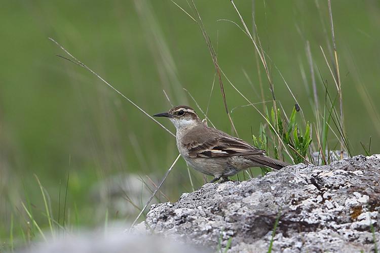 Long-tailed Cinclodes Sao Francisco de Paula National Park Brazil seen on 9000 bird quest