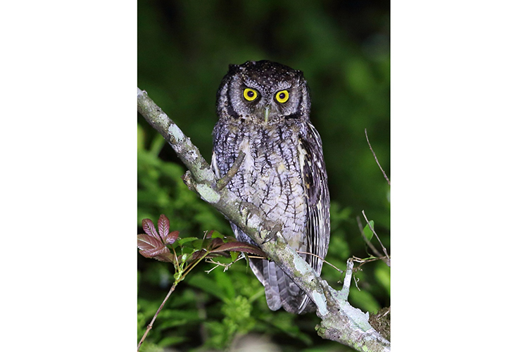Long-tufted Screech Owl Sao Francisco de Paula National Park Brazil seen on 9000 bird quest