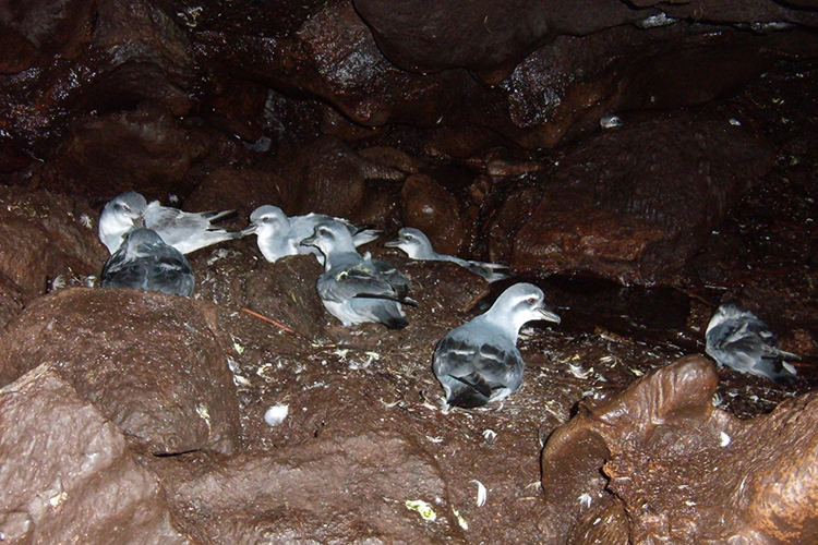 MacGillivray's Prion on Gough Island