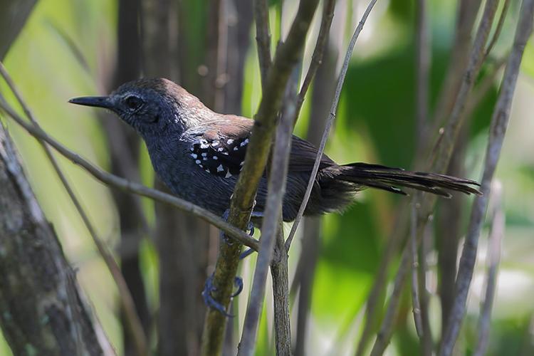 Marsh Antwren near Volta Velha Brazil seen on 9000 bird quest