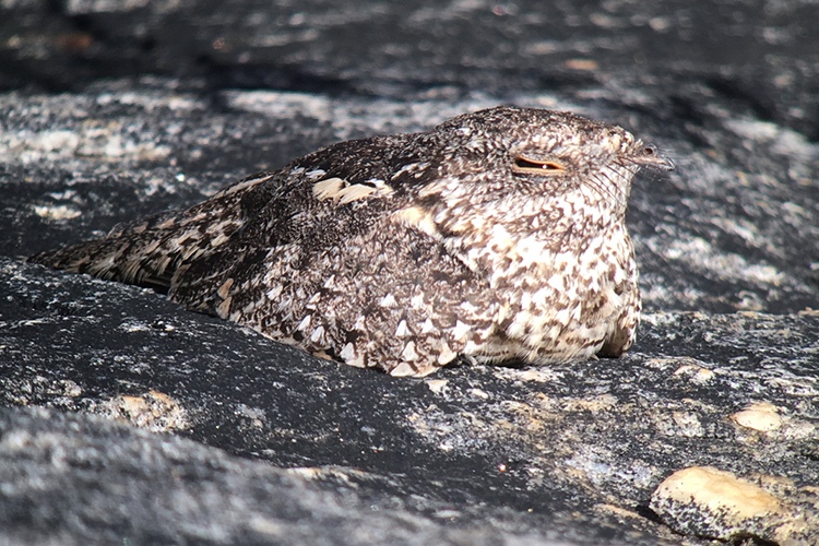 Pygmy Nightjar seen on 9000 bird quest