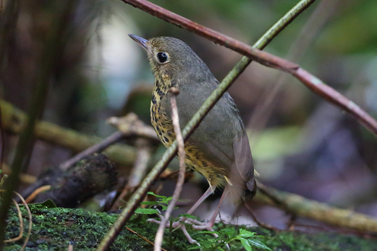 Speckle-breasted Antpitta Sao Francisco de Paula National Park Brazil seen on 9000 bird quest