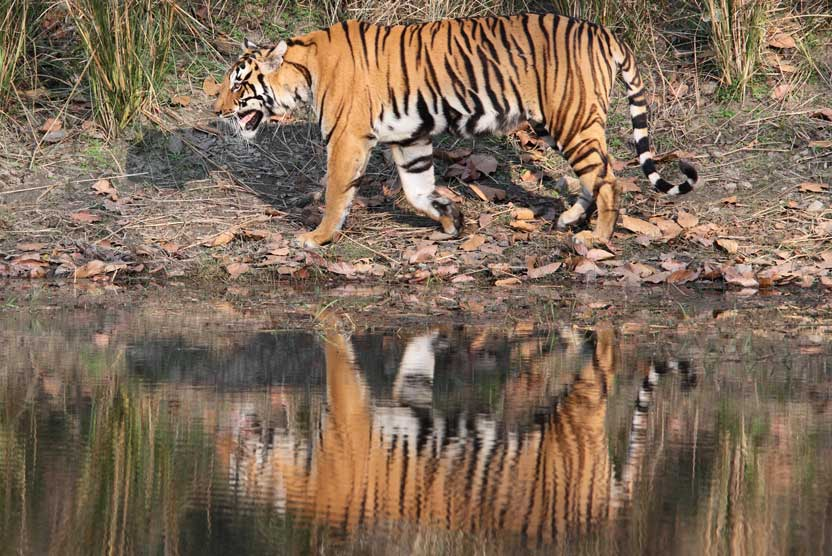 India wildlife safari image of a tiger and its reflection