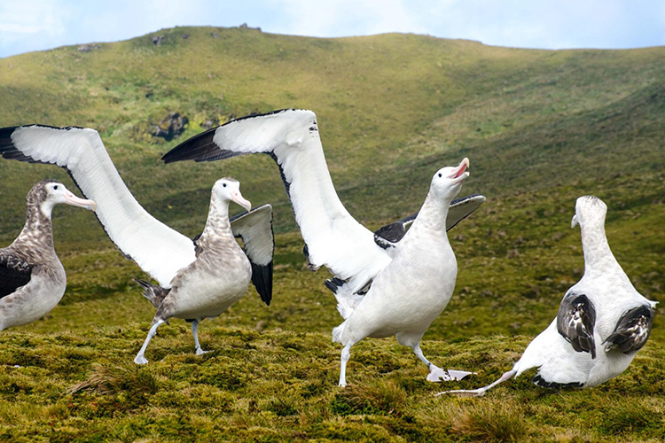 Tristan Albatross on Gough Island