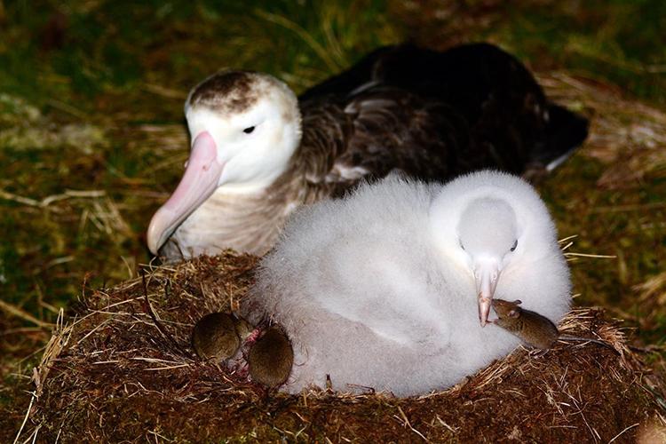 Tristan Albatross with mice on Gough Island