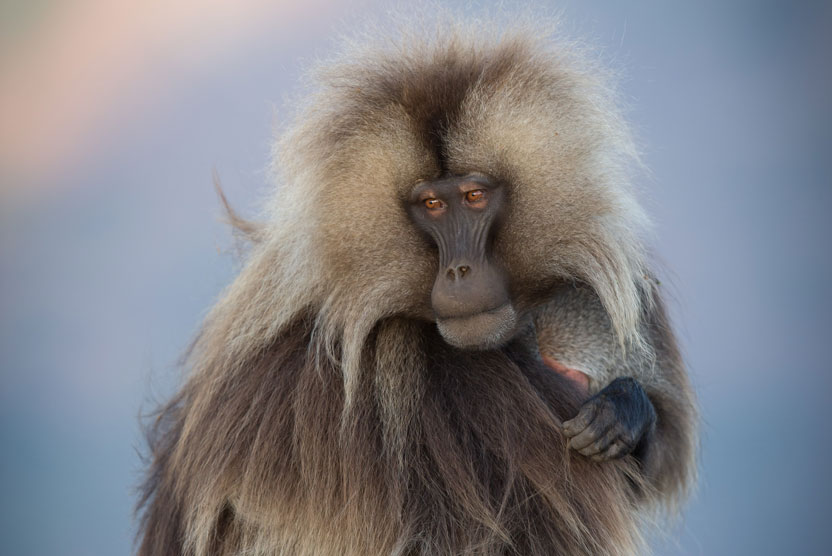 Ethiopia tours photo of Gelada in Simien Mountains