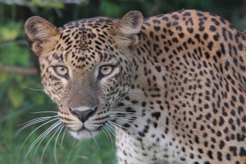 Sri Lanka tours photograph of a Leopard walking in Yala National Park