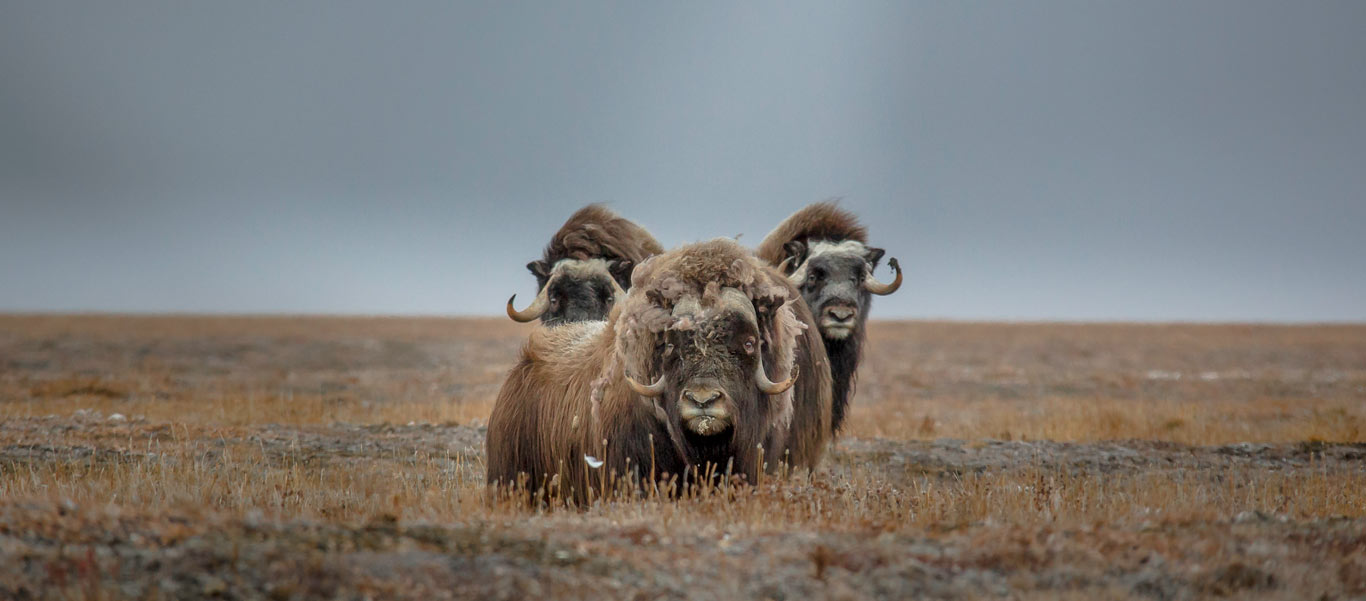Russian Arctic cruise picture of Musk Oxen