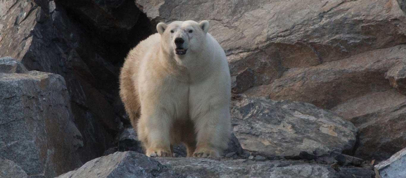 Wrangel Island travel photo of Polar Bear on rocks
