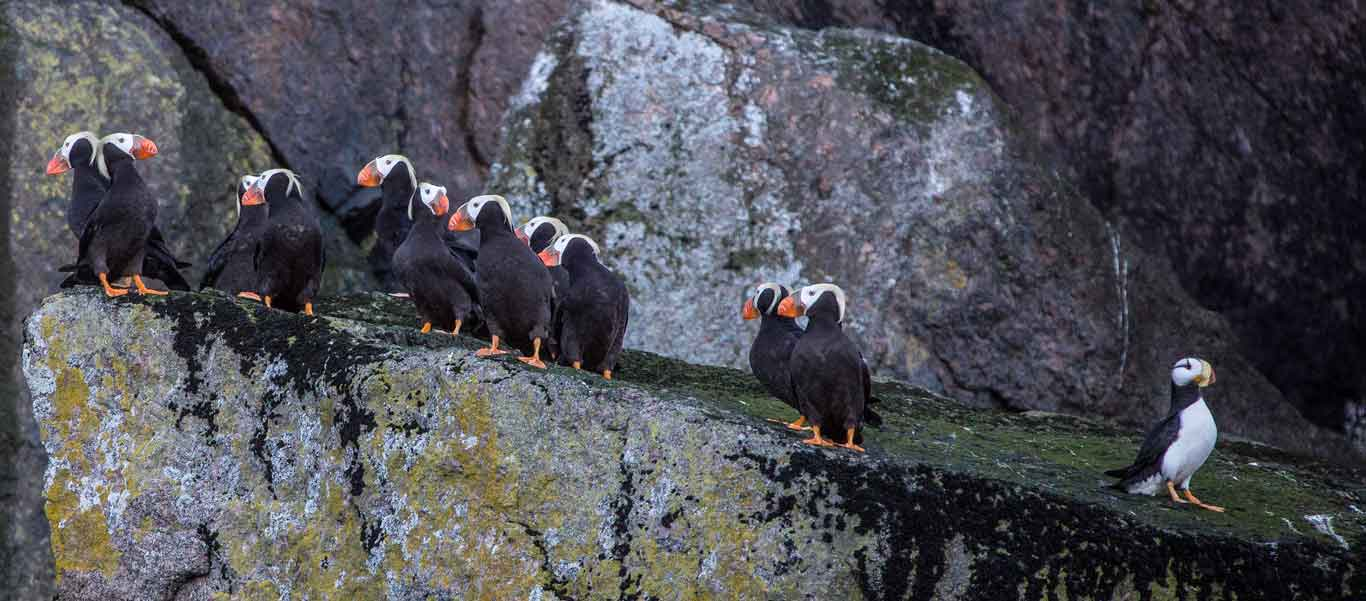 Wrangel Island travel photo of Tufted and Horned Puffins
