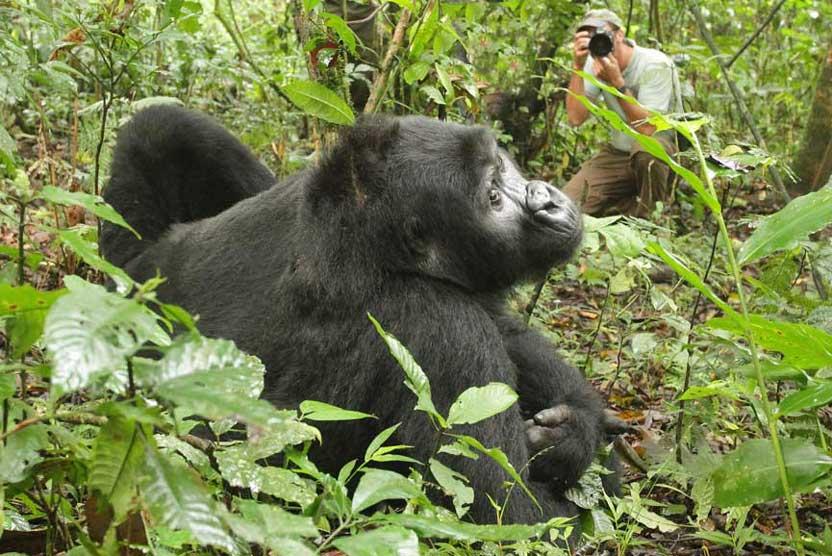 Rwanda gorilla safaris photo of Mountain Gorilla