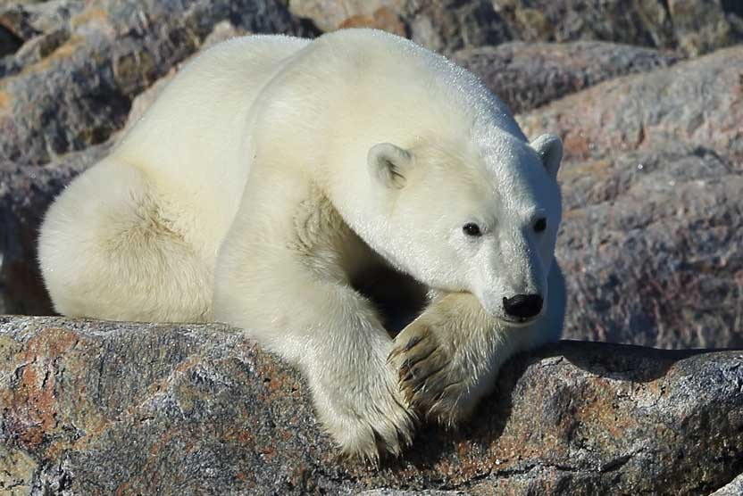 Russian Arctic cruise photo of Polar Bear