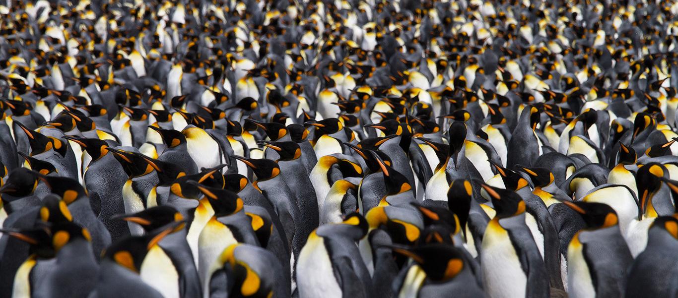Antarctica, South Georgia and Falklands Small ship cruise image of King Penguins on Salisbury Plain