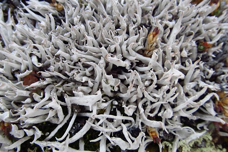 image of worm lichen Thamnolia vermiculata