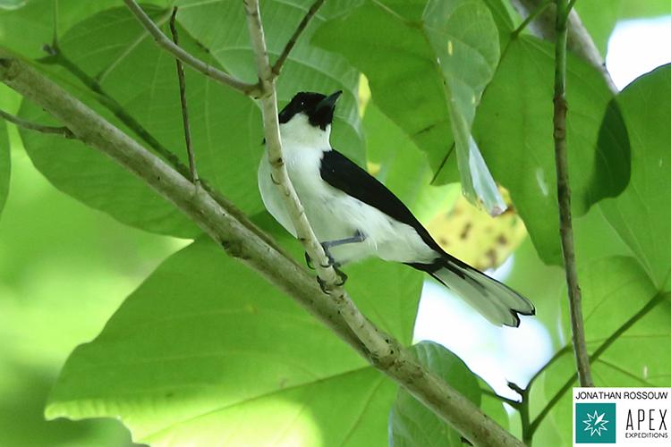 Boano monarch on 9000 bird quest