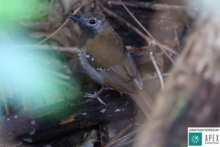 Buru thrush seen on 9000 bird quest