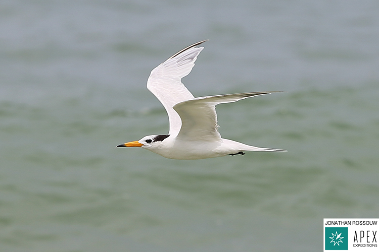 Chinese crested tern on 9000 bird quest