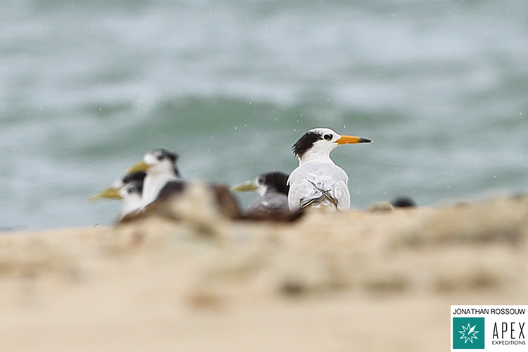Chinese crested tern roosting with great crested terns on 9000 bird quest