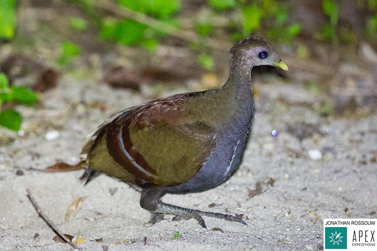 Moluccan Megapode seen on 9000 bird quest