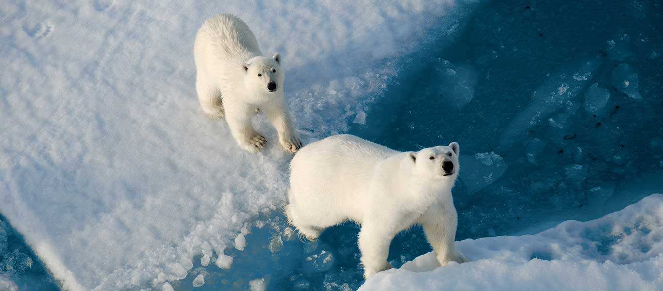 North Pole expedition image of two Polar Bears on ice.