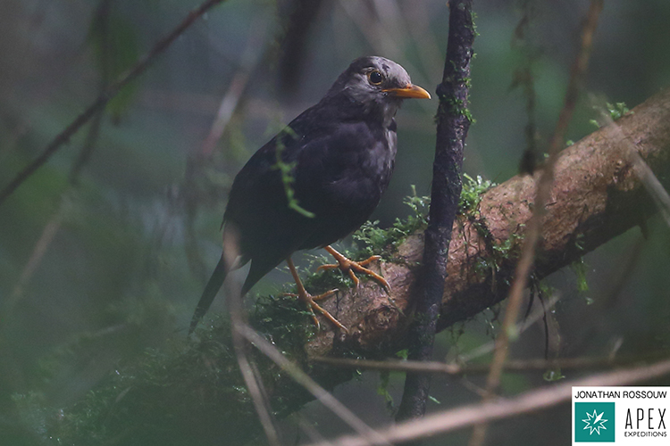 Seram island thrush seen on 9000 bird quest
