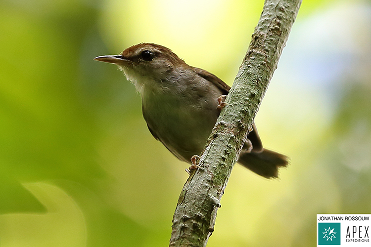 Tanimbar Bush Warbler seen on 9000 bird quest