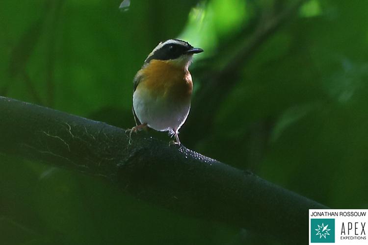 Tanimbar Flycatcher seen on 9000 bird quest