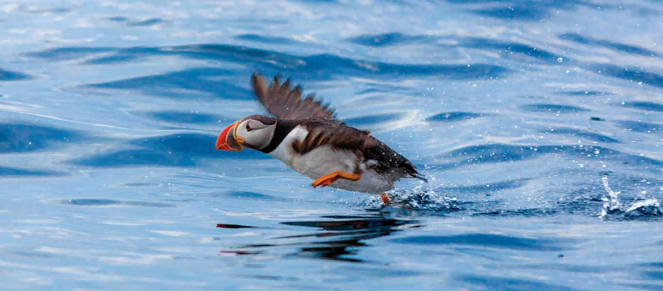 Visit Newfoundland photo of Atlantic Puffin