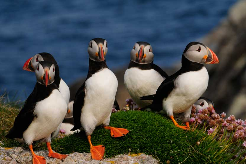 British Isles Cruise photo of Atlantic Puffins on Flannan Island
