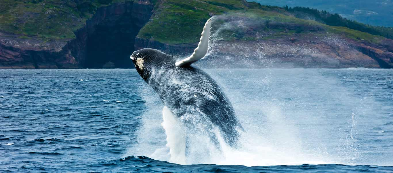 Newfoundland tours image of breaching Humpback Whale