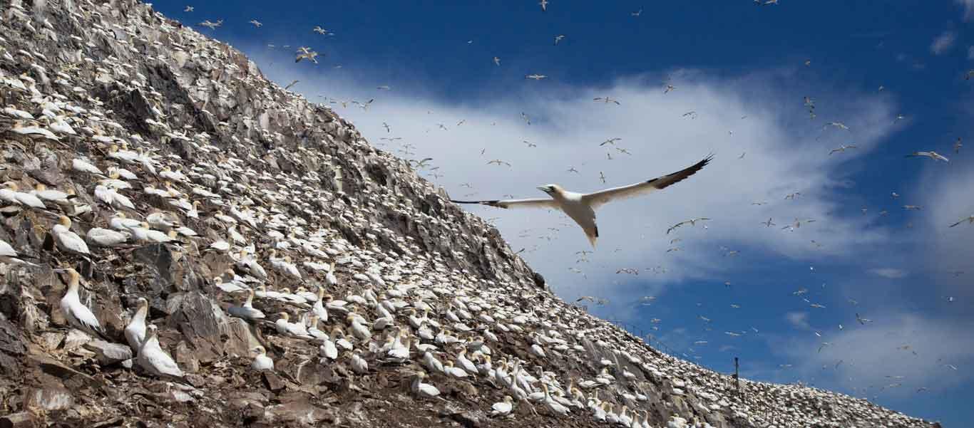 Scotland cruises photo of Gannets on Bass Rock