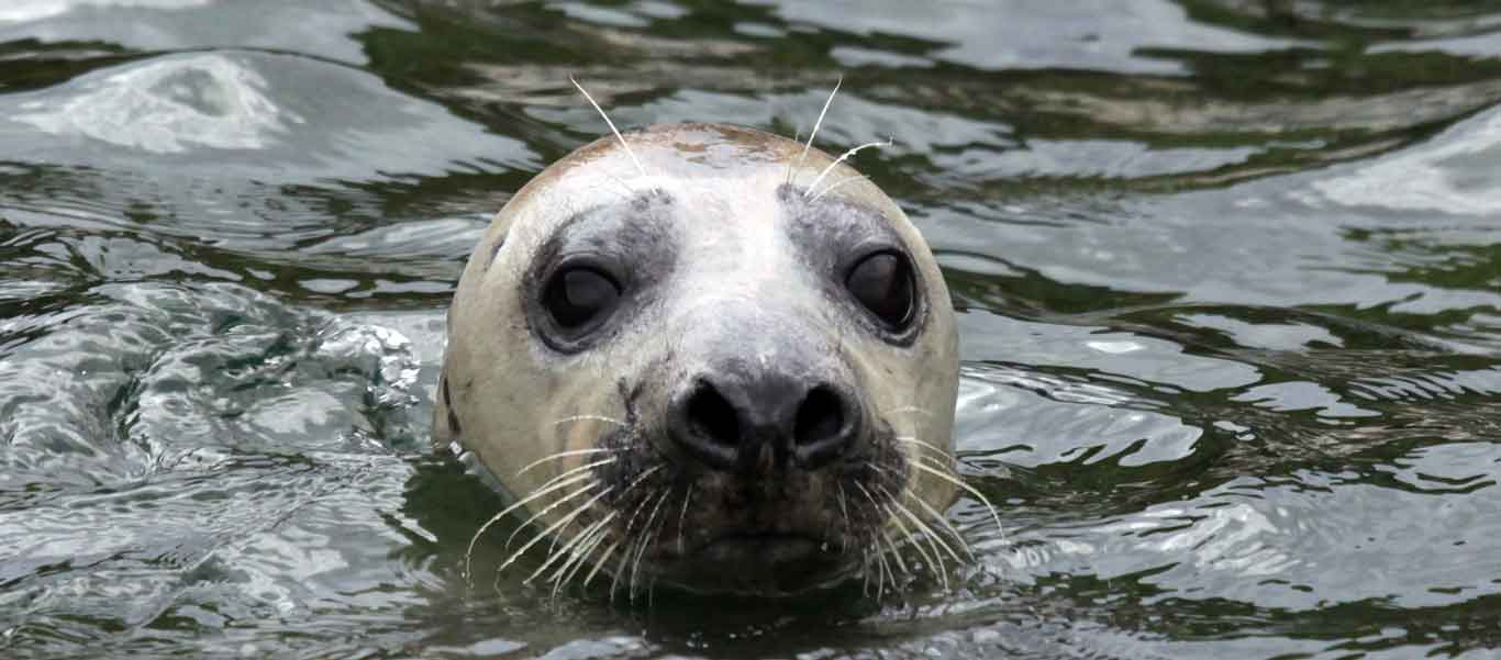 British Isles cruise photo of Grey Seal