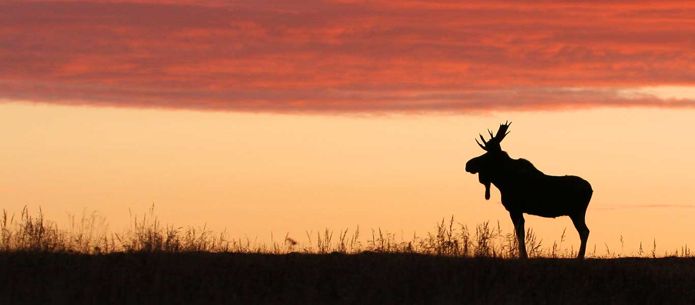 Newfoundland tours image of Moose at sunset